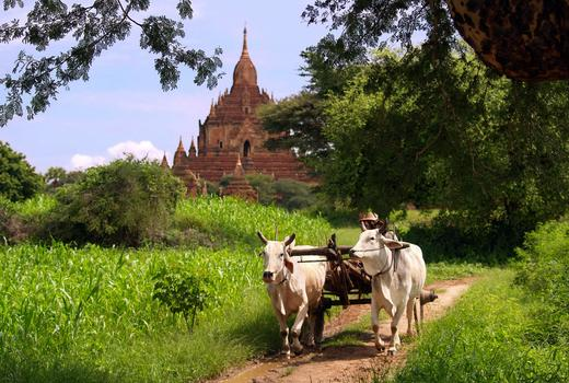 Ox and cart, Bagan