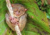 Meet the world's smallest primate!