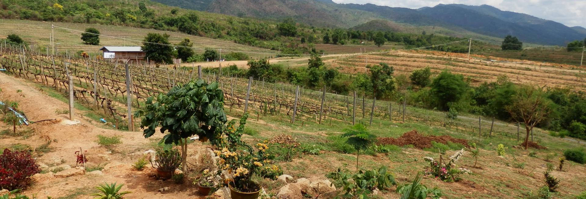 Red Mountain Estate Vineyard