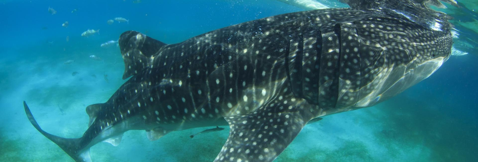 Whale Shark, Donsol, the Philippines