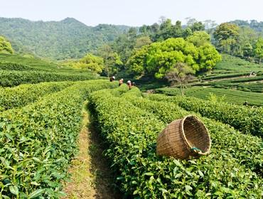 Tea plantation, Hangzhou