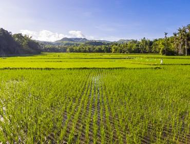 Rice paddies, Siquijor, the Philippines
