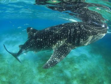 Swimming with Whalesharks, Donsol, the Philippines