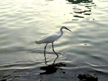 Egret, Olango Wildlife Sanctuary, Cebu