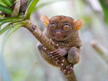 Tarsier, Bohol, the Philippines