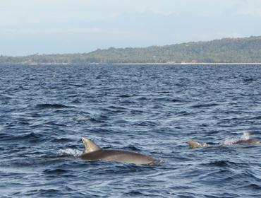 Dolphins, Pamilican Island, the Philippines
