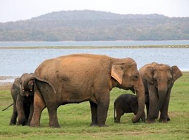 Elephant family, Minneriya National Park, Sri Lanka
