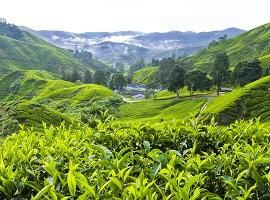 Tea Picker, Cameron Highlands