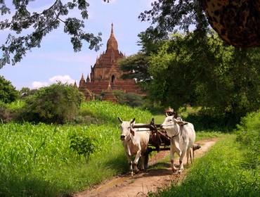 Ox & cart, Bagan