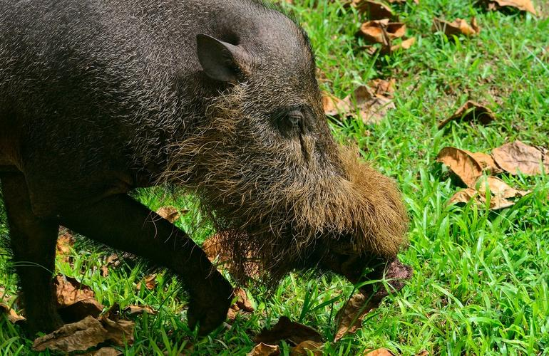 Bornean Bearded Pig, Bako National Park