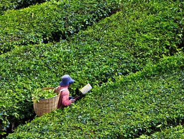 Tea plantation, Cameron Highlands