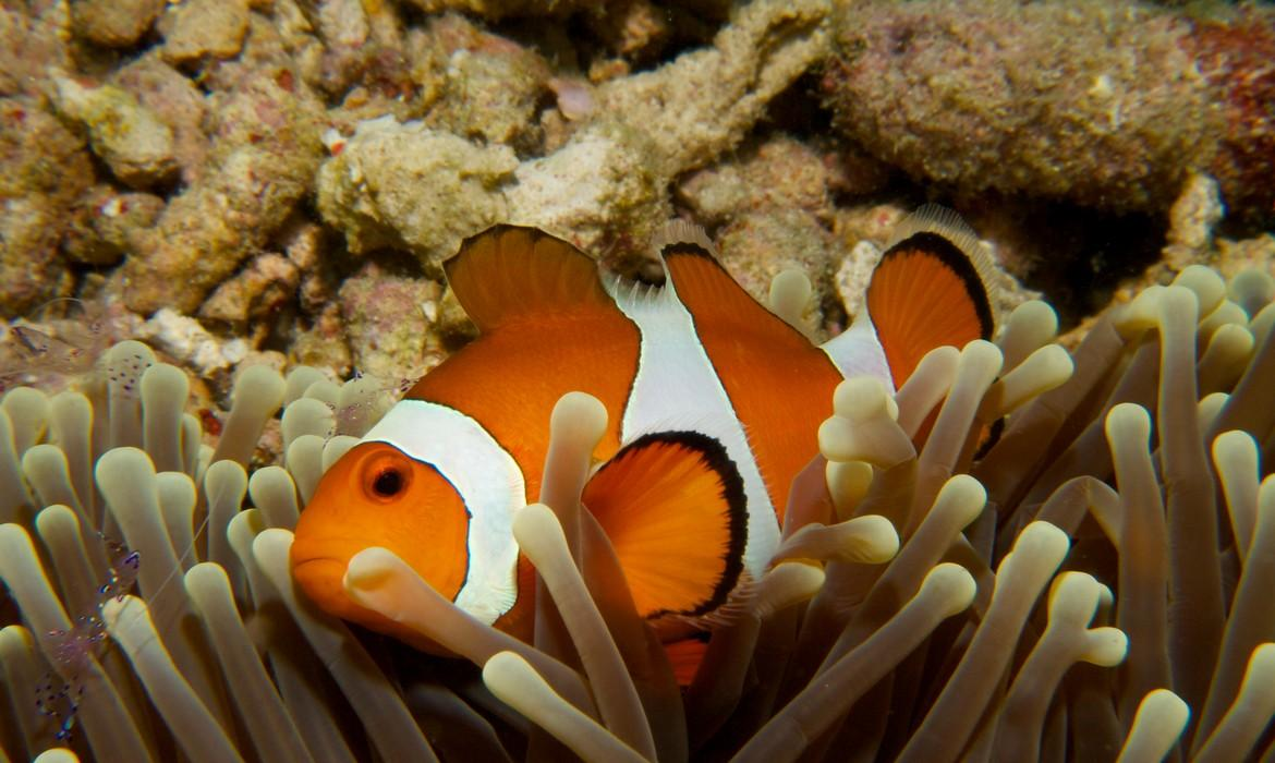 Common clownfish, Menjangan Island
