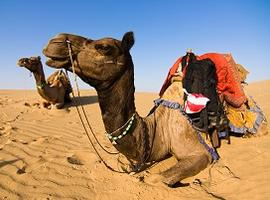 Camel safari, Thar Desert, India