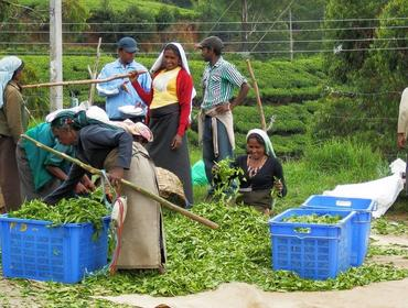 Tea picking, Nuwara Eliya