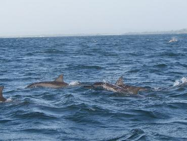Dolphins, Trincomalee