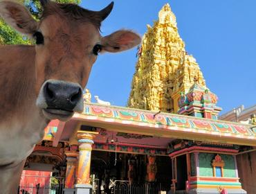 Cow at Hindu Temple, Jaffna