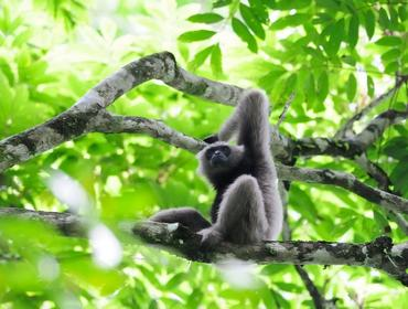 Gibbon, Danum Valley