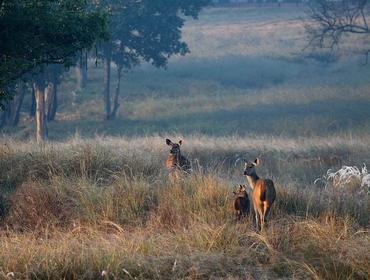 Chital deer, Kanha National Park