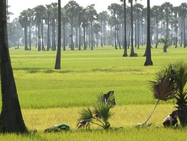 Rice fields near Srok Batheay, Kompong Cham