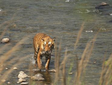 Bengal Tiger, Corbett National Park