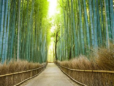 Bamboo groves at Arashiyama, Kyoto