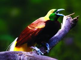 Bird of Paradise, Port Moresby