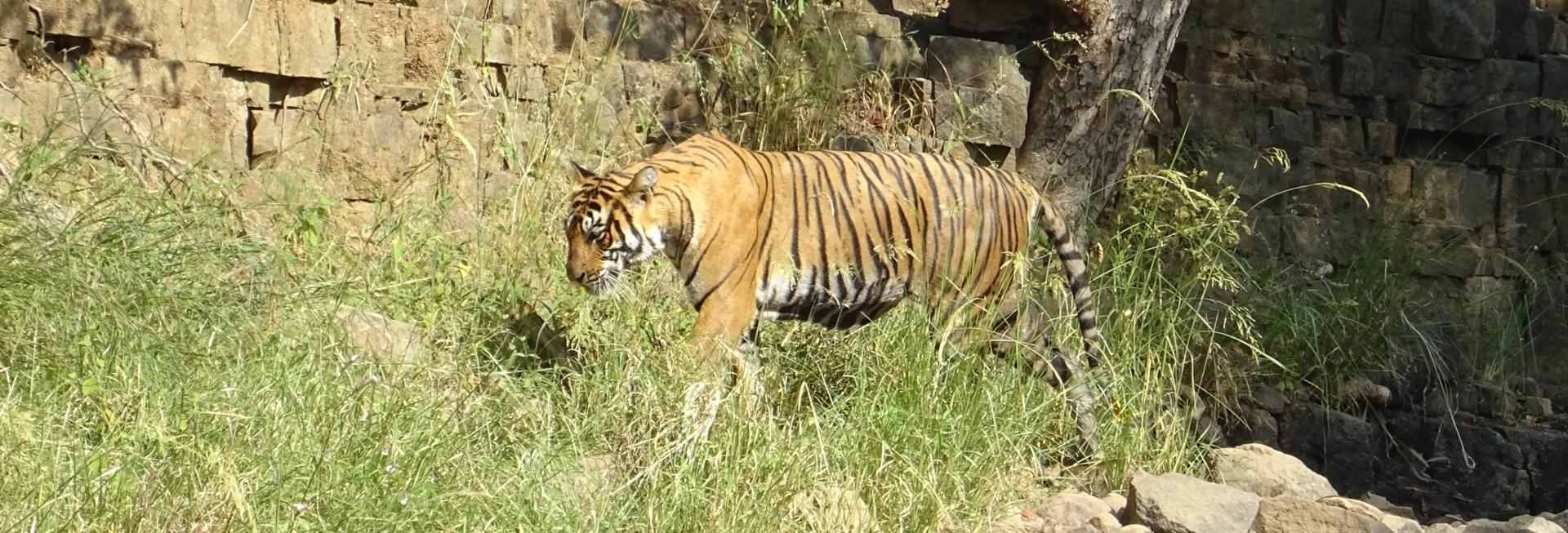 Tiger in long grass, Ranthambore National Park