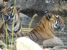 Tigers, Ranthambore National Park