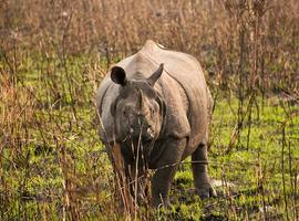 Rhino, Kaziranga National Park