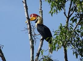 Hornbill Lore Lindu National Park