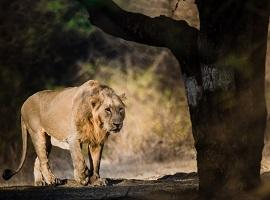 Asiatic lion, Sasan Gir
