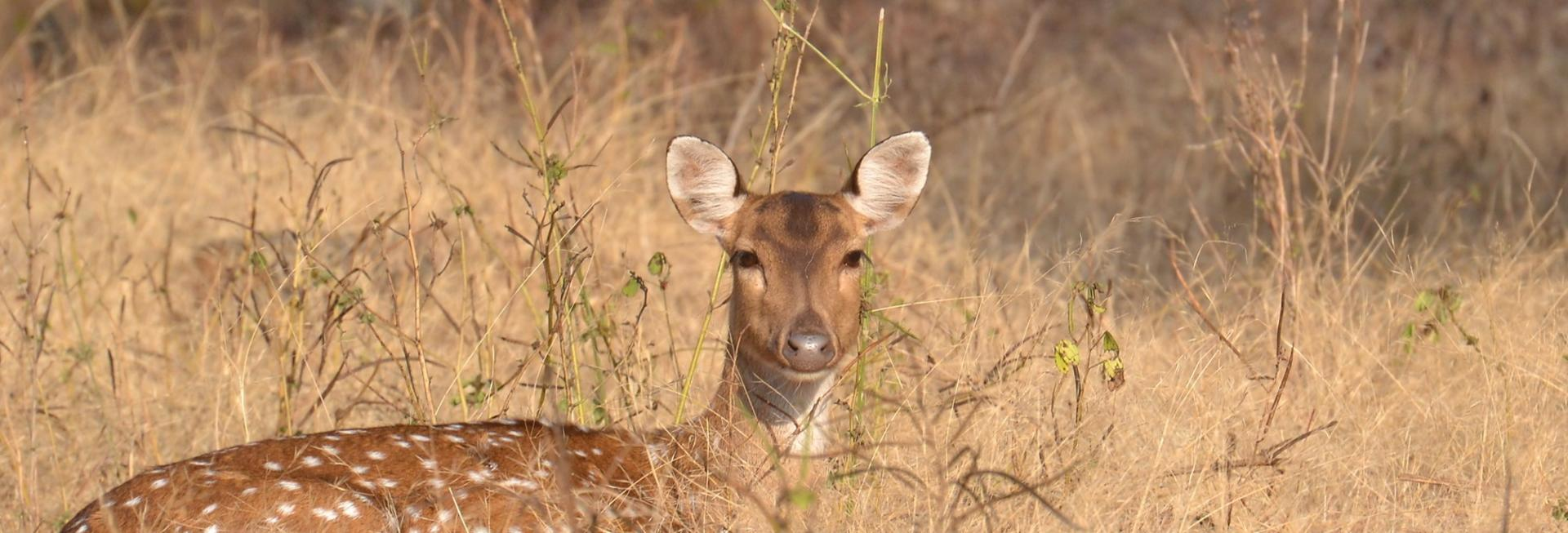 Deer, Satpura National Park