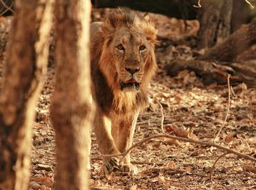 Asiatic Lion, Sasan Gir National Park