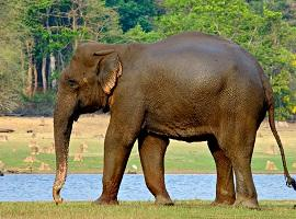 Elephant, Nagarhole National Park