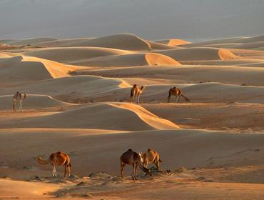 Sand dunes and camels, Wahiba Sands