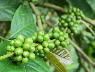 Green coffee beans, Munduk