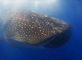 Whale shark. Donsol, Philippines